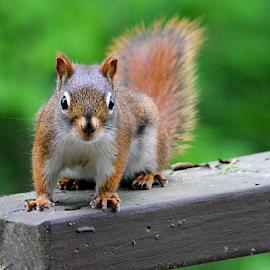 Stare down with a squirrel by Wendy Greenhut - Animals Other Mammals ( animazing_wildlife, animazing_nature, animalpolis )