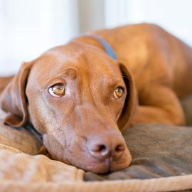Mason Sad by Michael Hii - Animals - Dogs Portraits ( lying, brown, vizsla, dog, eyes )