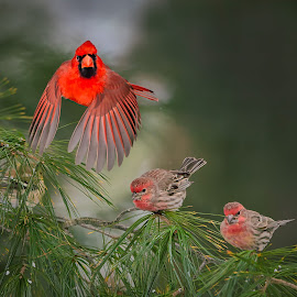 Winter in the Backyard by Don Holland - Animals Birds ( flight, winter, cardinal, finches, trio )