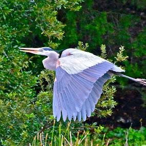 Great Blue Heron in flight by Sandy Scott - Animals Birds ( great blue heron, fishing birds, blue heron, water birds, birds, heron, wading birds,  )
