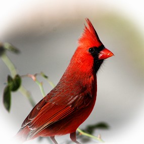 Alert by Dawn Vance - Animals Birds ( bird, red, male cardinal, wings, feathers )