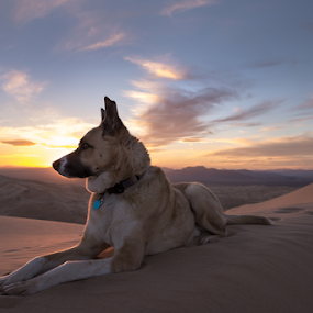 by Michael Keel - Animals - Dogs Portraits ( mojave desert, shepherd, kelso dunes, desert sunset, sunset, husky, husky mix, dog sunset )