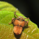 Leafhopper nymph