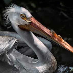 American White Pelican by Heather Allen - Animals Birds ( water, bird, plumage, white, beak, feathers, pelican, closeup,  )