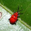 Scarlet Leaf Beetle