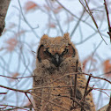 Great-Horned Owl (fledgling)