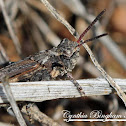 Band-winged Grasshopper