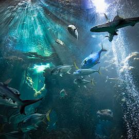 Shark-attack  by Jan Kiese - Animals Fish