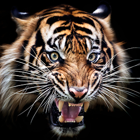 smile by Ivan Lee - Animals Lions, Tigers & Big Cats ( canon, tiger, roar, closeup,  )