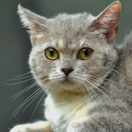 #scottishstraight by Cacang Effendi - Animals - Cats Portraits ( cats, cattery, kitten, animals, chandra )