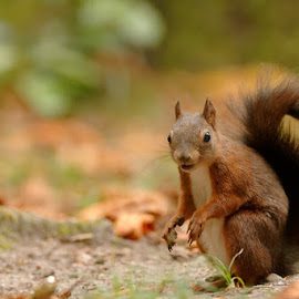 want to talk? by Cédric Guere - Animals Other ( mammals, goblin, wild, red, nature, wildlife, woods, squirrel, animal )