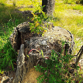 Decaying Stump by Keith Bass - Nature Up Close Trees & Bushes ( arkansas photographer, stump, bark, dead tree, arkansas )