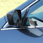 Chipping Sparrow (Attacking Its Own Reflection in a Car Mirror)