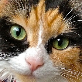 Trixie by Eve Spring - Animals - Cats Portraits ( calico, orange, cat, green, whiskers, white, green eyes, black,  )