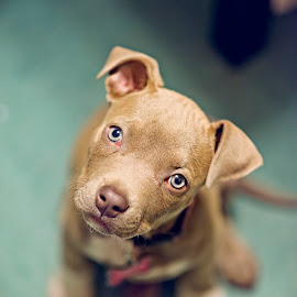 Whiskers by Monica Bartels Photography - Animals - Dogs Puppies ( pitbull, pets, blue eyes, puppy,  )