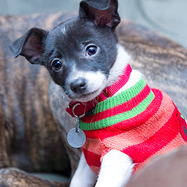 Ginni by Jason Nordby - Animals - Dogs Puppies ( dog sweater, button ears, curious, rescue, chihuahua mix, puppy, adorable, cute, posing, close up )