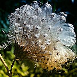 Beauty Leaves Home by Marija Jilek - Nature Up Close Other plants ( home, burdock, nature, plants, seeds, beauty, stem )