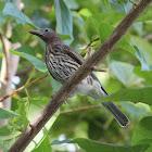 Figbird (female)