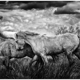 camargue horses by Ralph Huber - Animals Horses ( black and white, beautiful, horse, camargue, dramatic sky, running )