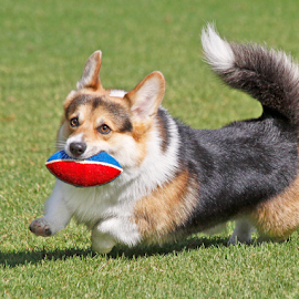 Having super fun by Mia Ikonen - Animals - Dogs Playing ( retrieving, pembroke welsh corgi, finland, fun, running,  )