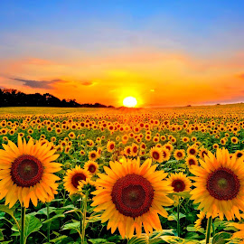 Field of Sunflowers by Bill Morris - Flowers Flower Gardens ( field, sunset, sunflowers, flowers, plantation )