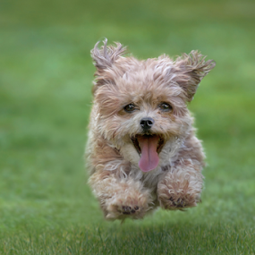 Catch the Ball by Michael Milfeit - Animals - Dogs Running ( playing, bolonka, ball, hund, game, nele, dog, running, bolonka zwetna, #GARYFONGPETS, #SHOWUSYOURPETS,  )