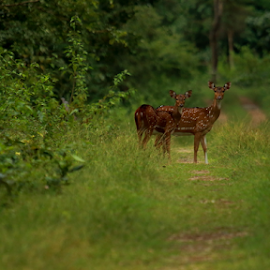 Pose by Ganesh Namasivayam - Animals Other Mammals ( gaur, spotted deers, axis axis )