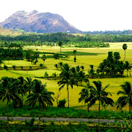 Paddy fields by Shameer Kamarudheen - Landscapes Prairies, Meadows & Fields ( coconut trees, greenery, paddy fields )
