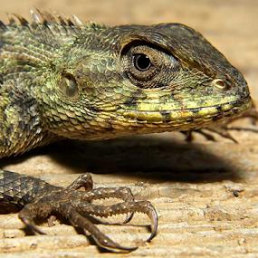 Roaarrr by Deddy Setiawan - Animals Reptiles
