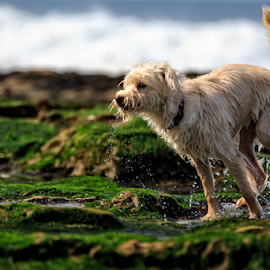 At the Beach by Paul Judy - Animals - Dogs Playing ( playing, moss, ocean, santa cruz, dog, rocks )