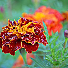 Kadifica by Jelena Puškarić - Flowers Single Flower ( macro, nature, colors, nature up close, flowers,  )