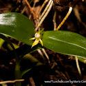 Dwarf butterfly orchid