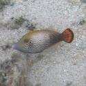 Hawaiian Filefish Fantail