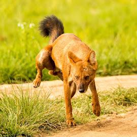 Wild Dog ...  by Surajit Dutta - Animals - Dogs Portraits ( wilderness, wildlife, wild dog, portrait, animal )