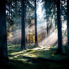 Sunbeams in the Forest by Daniel Schroeder - Landscapes Forests ( autum, sunbeams, sunset, moody )