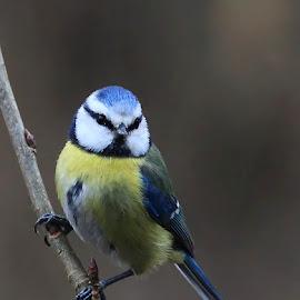 Short break by Radu Eftimie - Animals Birds ( tit )