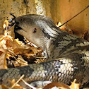 Eastern Blue-tongue Lizard (Juvenile)