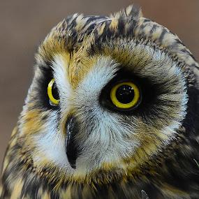 Short Eared Owl by Roy Walter - Animals Birds ( captivity, raotor, owl, short eared owl, birds, animal )
