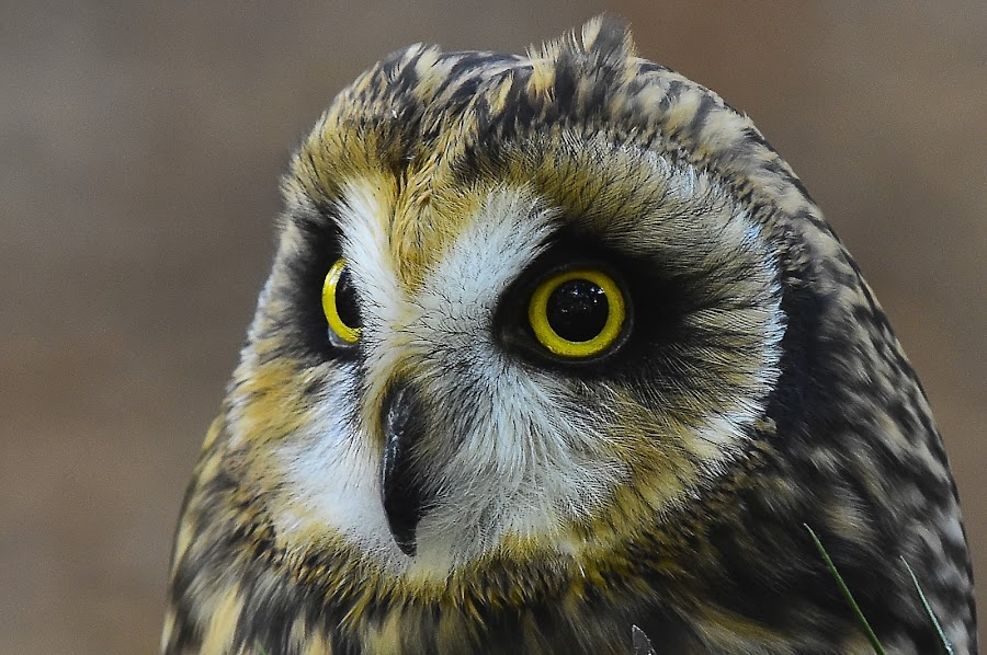 Short Eared Owl by Roy Walter - Animals Birds ( captivity, raotor, owl, short eared owl, birds, animal )