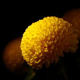 Ping Pong Flower by Wei Kean Theng - Nature Up Close Other plants ( nature, round, yellow, flower, ping pong )