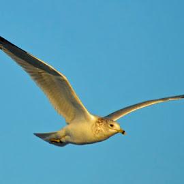 In Flight by Bill Telkamp - Novices Only Wildlife ( seagulls, seascape, birds )