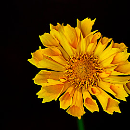 Coreopsis by Sue Matsunaga - Novices Only Flowers & Plants