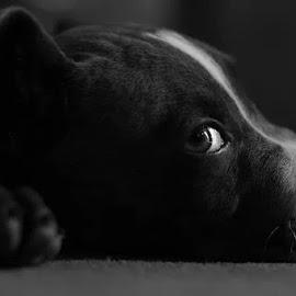 Melirik by Candra Sanchez - Animals - Dogs Portraits