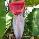 Banana Blossom