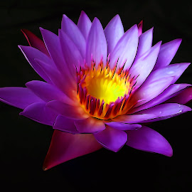 Waterlily by Asif Bora - Digital Art Things