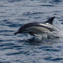 common dolphin by John Westwood - Animals Sea Creatures