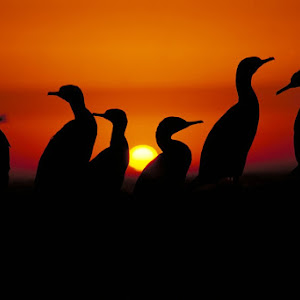 cormorant sunset 7.jpg