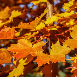 Maple Kind of Morning by Tammy Drombolis - Nature Up Close Leaves & Grasses