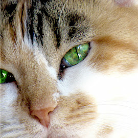 My Girl by Trish Hamme - Animals - Cats Portraits