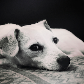 JackR by Mari du Preez - Animals - Dogs Portraits ( jack russell, black and white, pet, terrier, dog )